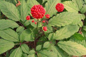 Женьшень в пробирке умеют выращивать новосибирские учёные