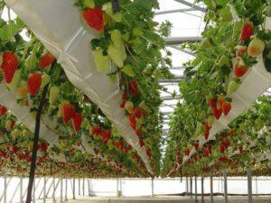 Для выращивания земляники в Сибири применили новые технологии